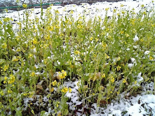 nanohana flower in the snow