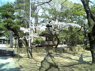 cherry blossoms in funabashi shrine