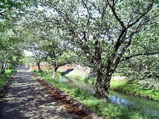 cherry trees by the river