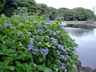 hydrangea in hama-rikyu gardens