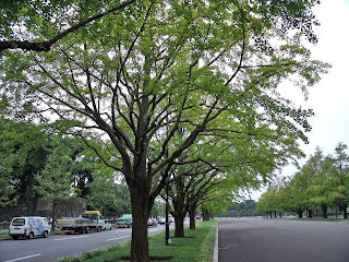 ginkgo trees on gyoko-dori
