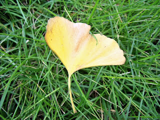 a yellow leaf of ginkgo