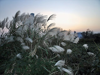 Japanese silver grass at dusk
