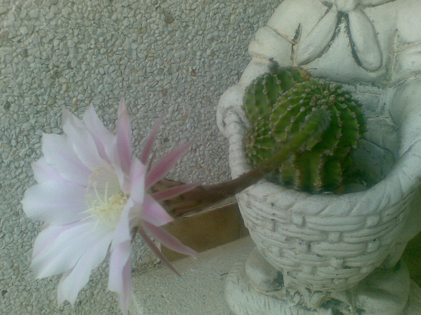 Cactus y suculentas los cactus de rosario olmos for Cactus y suculentas