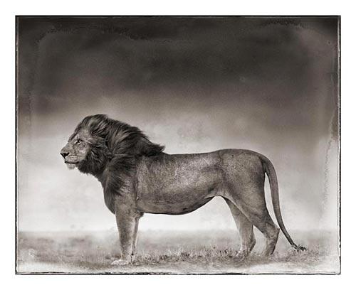 [nick_brandt+lion]