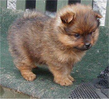 Pets Pomeranian