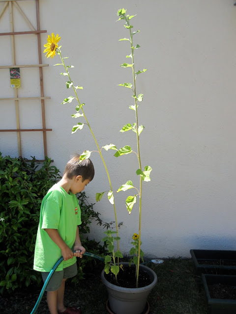 Watering sunflowers