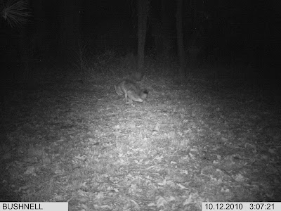 Coyote Squatting