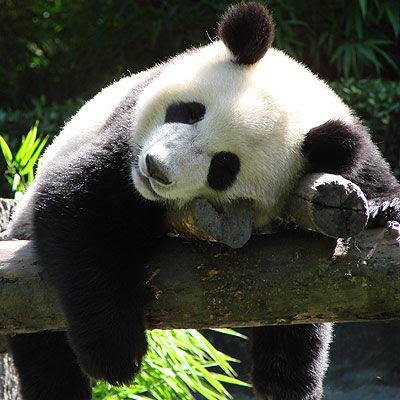 Morton's Musings: Sleeping panda