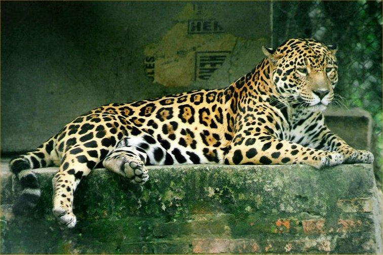 72 beautiful jaguar pictures beautiful jaguar pictures p5. Black Bedroom Furniture Sets. Home Design Ideas