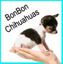 BonBonChihuahuas