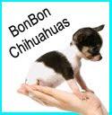 BonBonChihuahuas
