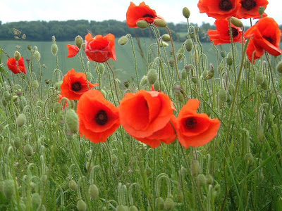 August. Flower Poppy. Birthstone Peridot