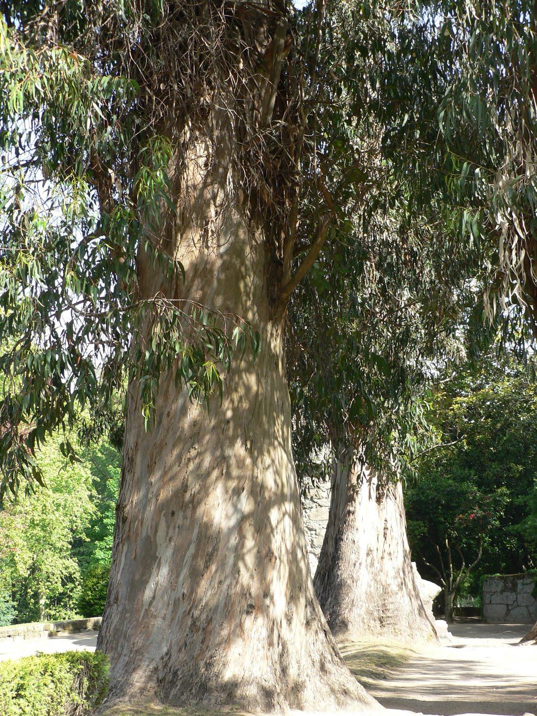 R b o l e s t r e e s eucalyptus globulus labill for Caracteristicas de arboles frondosos