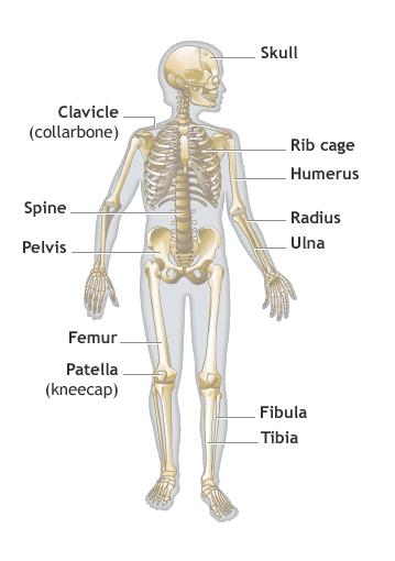 Health & Medicine: What Do Bones Do ?