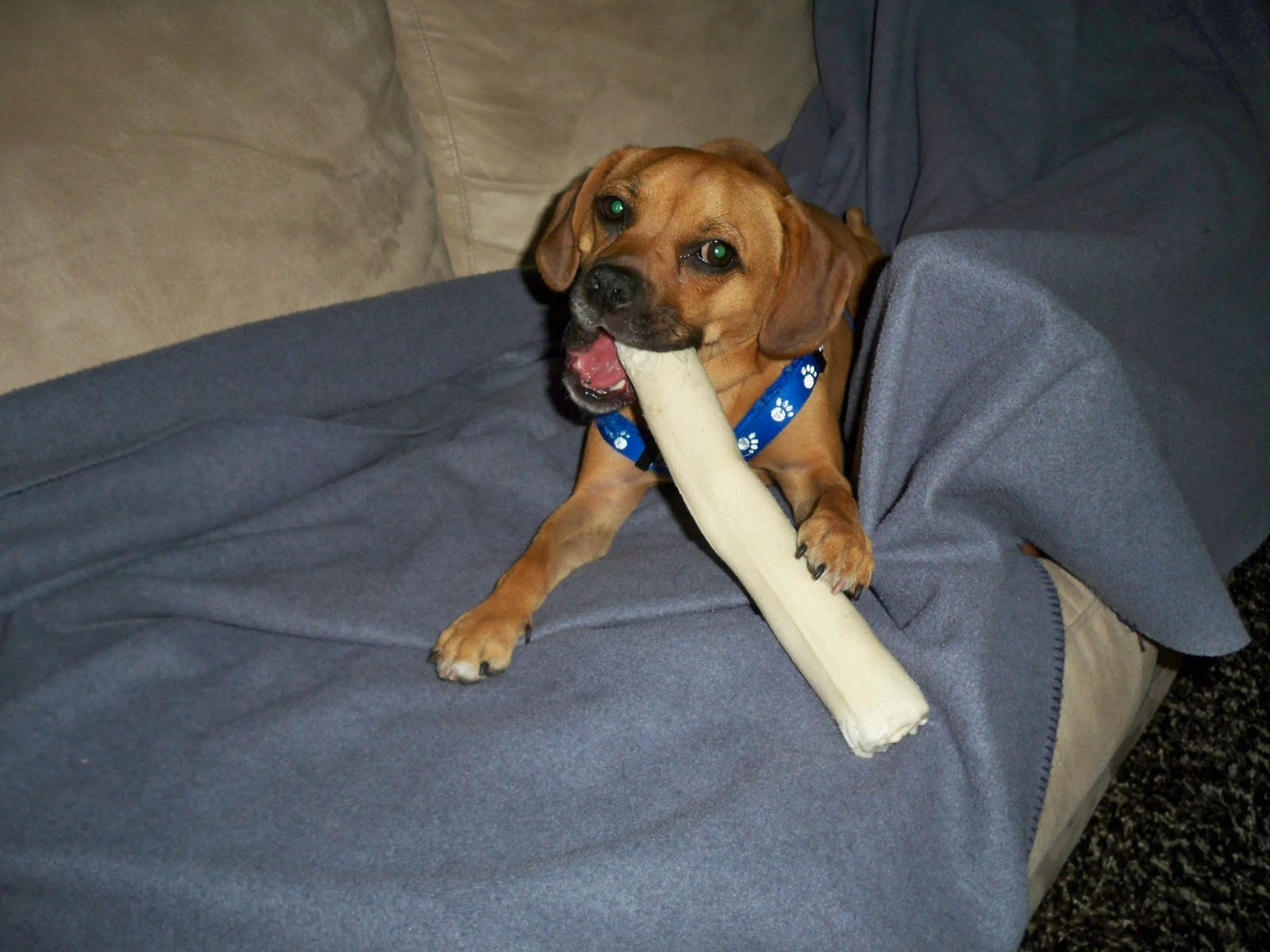 all about bruschi and ebby too bones and bully sticks and puggles oh my. Black Bedroom Furniture Sets. Home Design Ideas