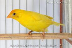 Canario da Terra                 Amarelo Intenso