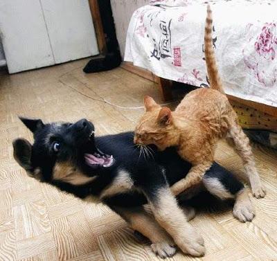 http://1.bp.blogspot.com/_vXhVGx51WYI/R8useGHTh6I/AAAAAAAAATY/op-KxWXXpe0/s400/cat+fight+dog.jpg