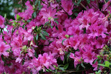 Azaleas...