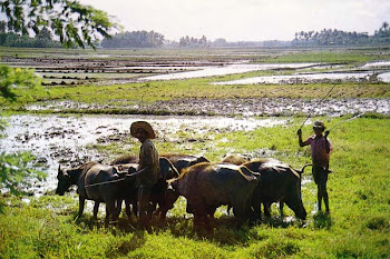 Cows work in paddy