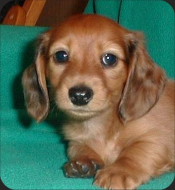 long hair daschund. long hair miniature daschund. Shout out to Birdie - the little daschund on