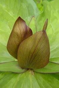 Trillium Floret, wildflower