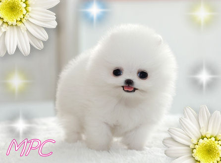 short hair pomeranian puppies