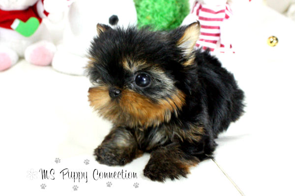 New York Teacup Puppies For Sale title=