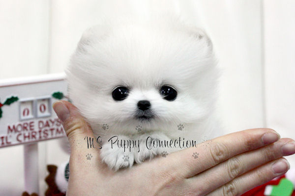 teacup pomeranian puppies for free. Fabulous Teacup White
