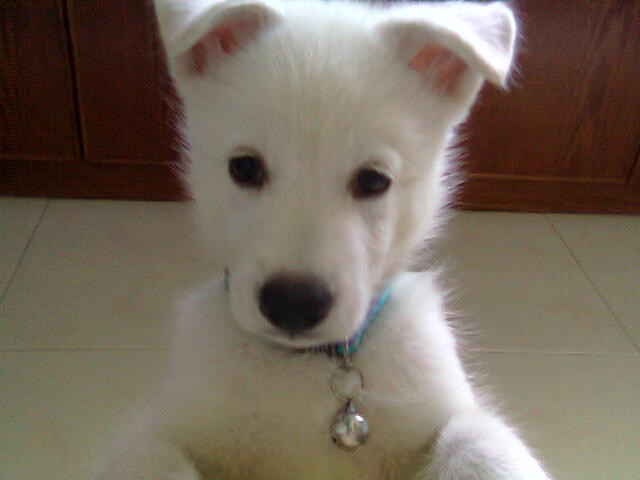 White Husky Puppies widescreen wallpaper