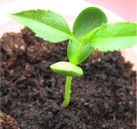 How to germinate apple seeds