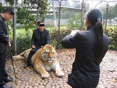 tigre_zoo_chine
