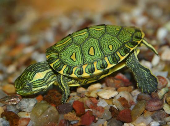 Adapta es aqu ticas tartarugas for Lago tartarughe