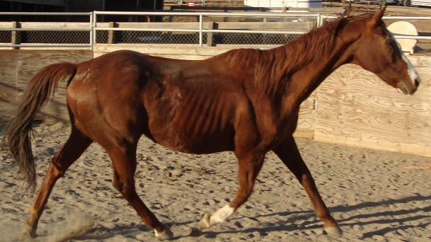 Sattoro the neglected thoroughbred gelding