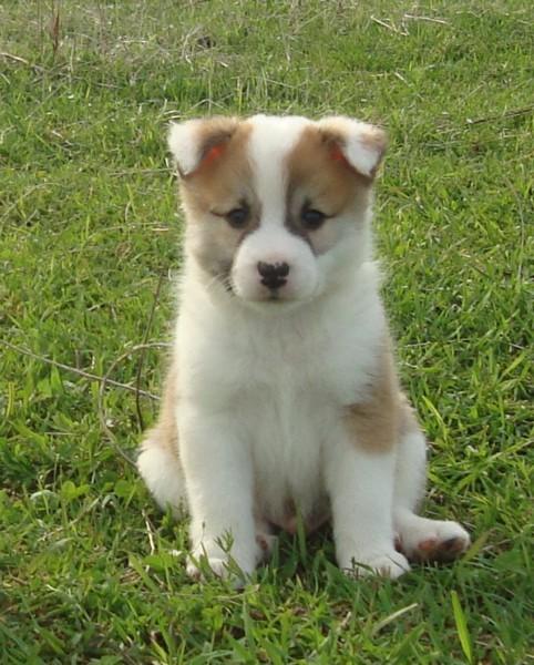 IcelandicSheepdogPuppies: Icelandic Sheepdog Puppies enjoy ...
