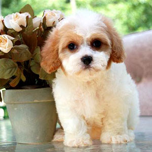Cavachon Puppies on Cavachon I Found Online  How Can You Resist Those Eyes