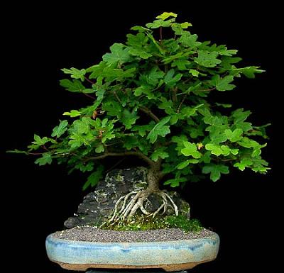 reiners bonsai blog felsenpflanzung feldahorn teil 2. Black Bedroom Furniture Sets. Home Design Ideas