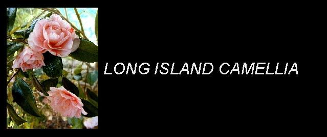 Long Island Camellia