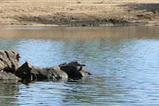 Fresh Water Croc.