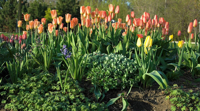 tulips blooming in May in planted bed at Veteran's Park, part of Orillia's waterfront