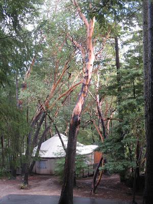 Madrone trees over the meditation yurt.