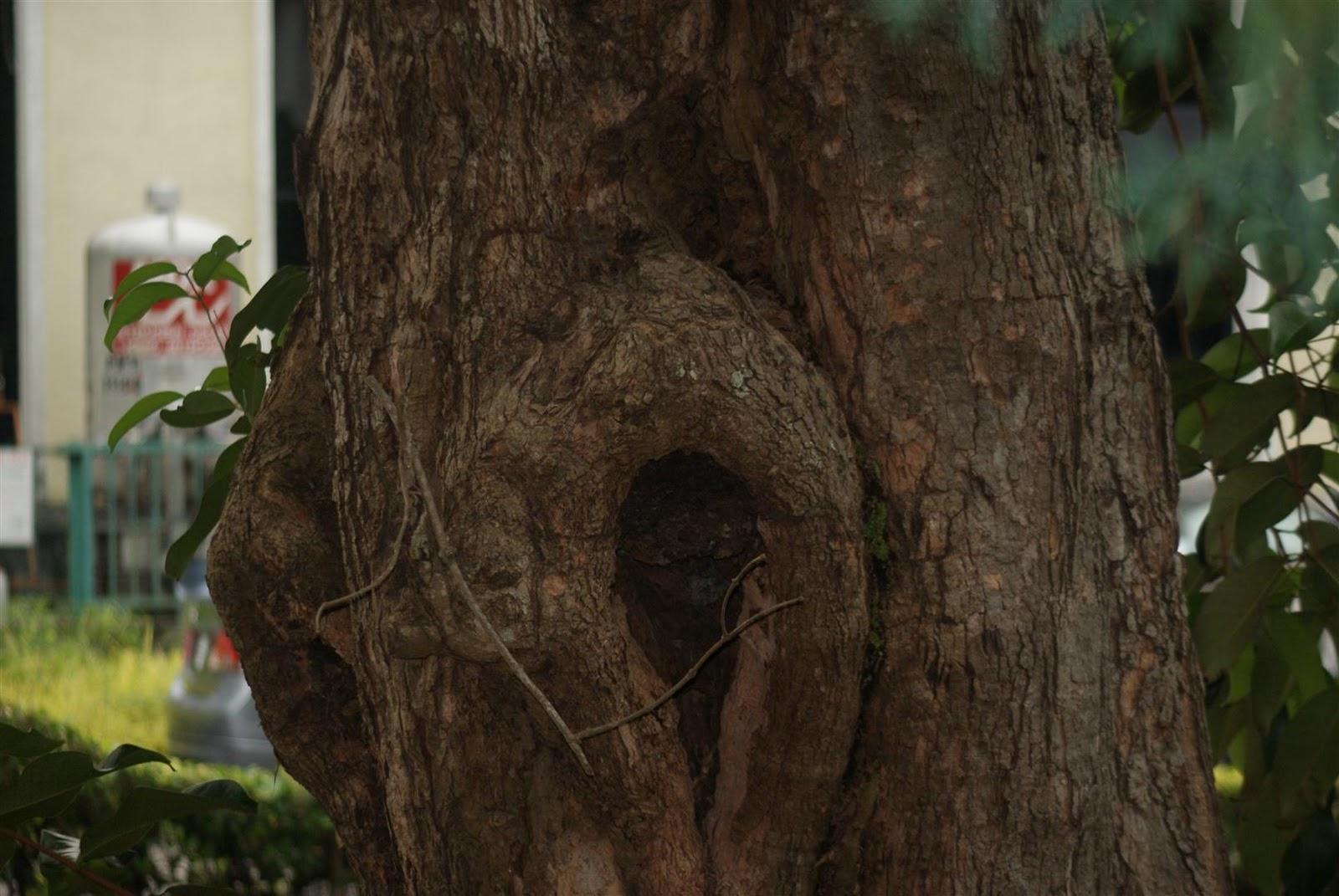 pokok Jambu Laut yang terletak bersebelahan dengan PHS2