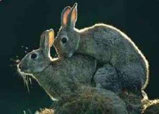 Animals Fornicating: Rabbits Mating