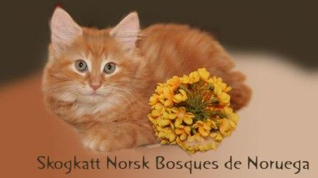 GATITOS RAZA BOSQUES DE NORUEGA DISPONIBLES