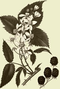 Photo of Blackberry Bramble