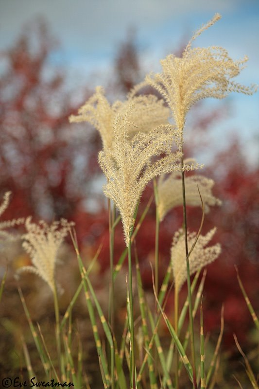 [porcupine+grass+Miscanthus+sinensis+]