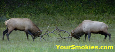 Elk rut in full swing in the Great Smoky Mountains National Park