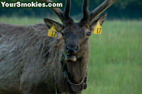 Great Smoky Mountains National Park needs more Volunteers to assist with the Elk Program