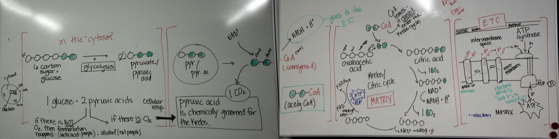 observation of photosynthesis in plant and respiration in yeast essay Carbon dioxide essay  carbon dioxide was part of the plant's  the effect on the rate of respiration of yeast cells with glucose when the temperature.