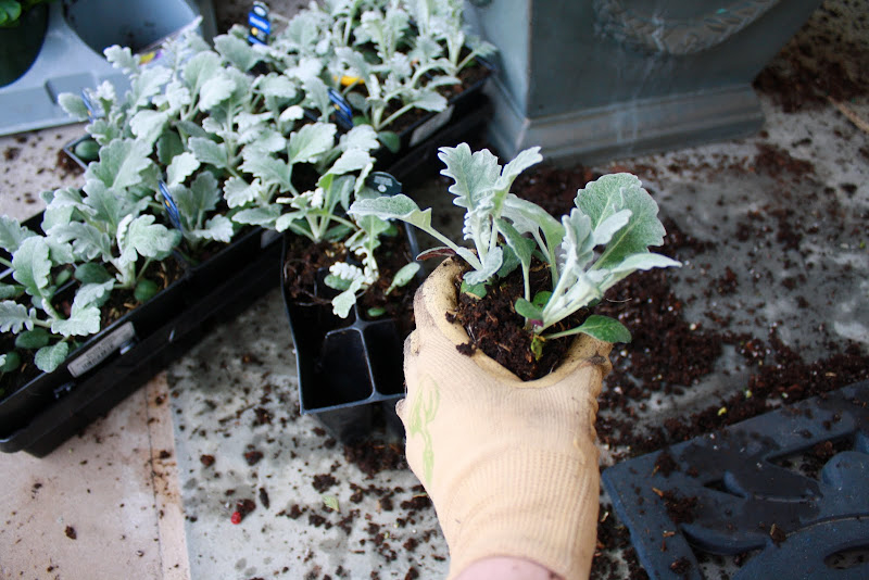 how to grow dusty miller indoors